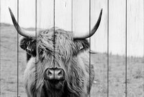 Шотландская корова 30х40 см, 30x40 см - Dom Korleone